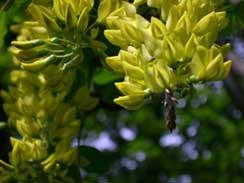 bloem van de Gouden regen