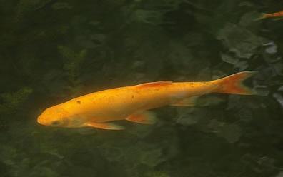 Vissen In Vijver : Goudwinde een dankbare vis voor in de vijver soorten windes en