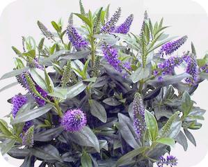 Vaste Planten In Pot Buiten Winterhard.Hebe Of Struikveronica Een Bloeiende Plant Tegen Allerheiligen