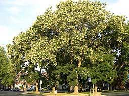 bloeiende Honingboom