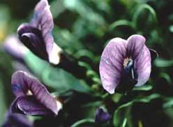 Sophora gypsophila