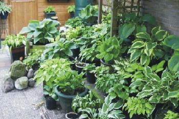 Het plaatsen en schikken van hosta 39 s in de tuin hosta for Mooie tuinen kijken