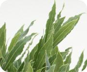 bladeren van de laurier Laurus nobilis