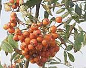 Sorbus aucuparia edulis 'Rosina' - eetbare soorten lijsterbessen
