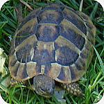 europese landschildpad