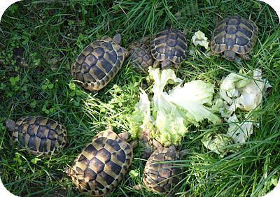 europese landschildpadden die in ons land gekweekt werden