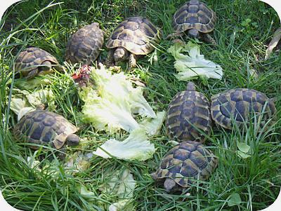 landschildpadden aan het eten in de tuin
