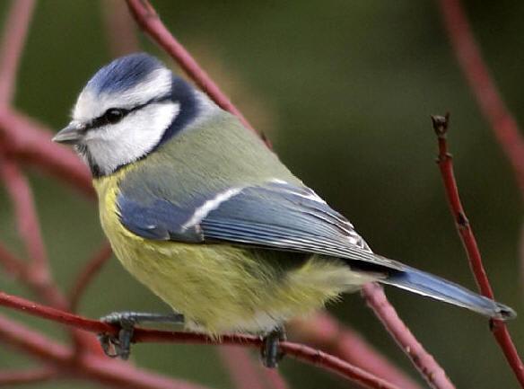 Vogels Nederland Tuin : Soorten vogels in de tuin tijdens de winter mussen merels