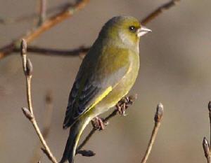 Vogels Nederland Tuin : Vogels in de tuin vogelsoorten en hoe je ze kan voeren en