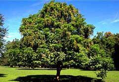 boom met peulen