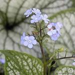 Brunnera macrophylla 'Silverlace' - Brunnera macrophylla 'Silverlace' - Kaukasische vergeet-mij-nietje