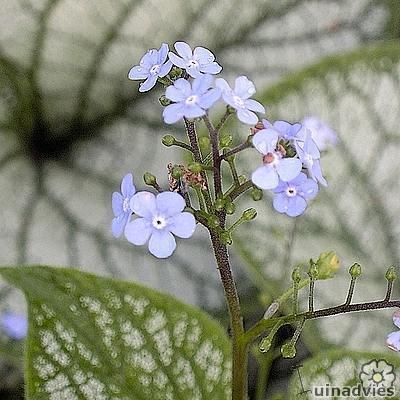 Brunnera macrophylla 'Silverlace' -