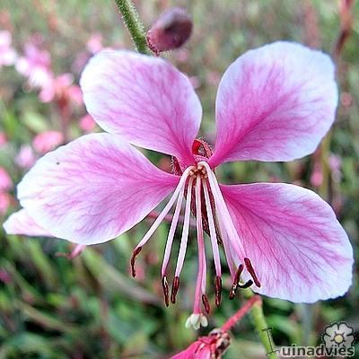 Gaura lindheimeri 'Pink Dwarf' -
