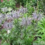 Eryngium alpinum 'Blue Star' - Eryngium alpinum 'Blue Star' - Kruisdistel