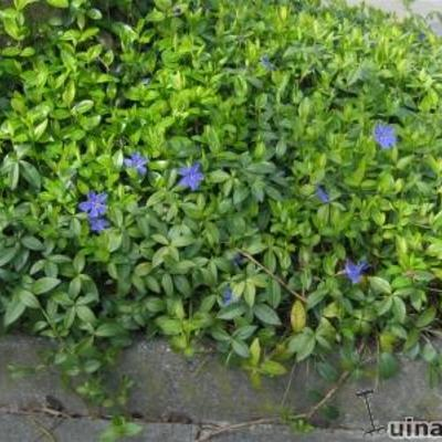 Vinca major - Grote maagdenpalm