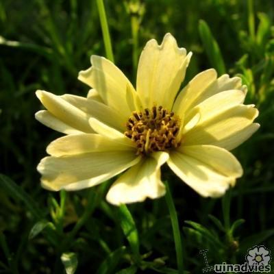 Coreopsis 'Creme Brulee' -