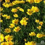 Coreopsis grandiflora 'Flying Saucers' - Coreopsis grandiflora 'Flying Saucers' - Meisjesogen