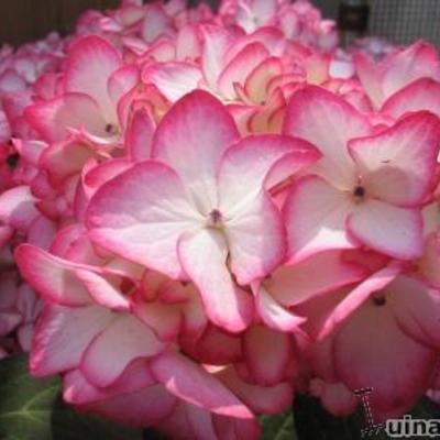 Hydrangea macrophylla 'Mirai' -