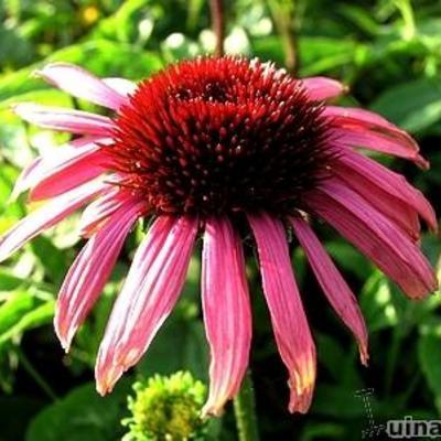 Echinacea purpurea 'Twilight' -
