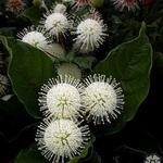 kogelbloem - Cephalanthus occidentalis
