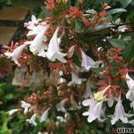 Abelia x grandiflora - Abelia x grandiflora - abelia