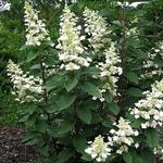 Hydrangea paniculata 'Great Escape' - Pluimhortensia