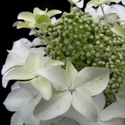 Hydrangea paniculata 'Degudo' -