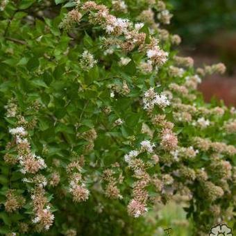Chinese Abelia Abelia Chinensis