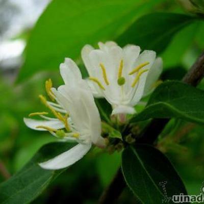 Lonicera fragrantissima - Winterkamperfoelie - Lonicera fragrantissima