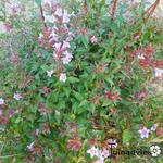 Abelia parvifolia - Abelia parvifolia - Abelia