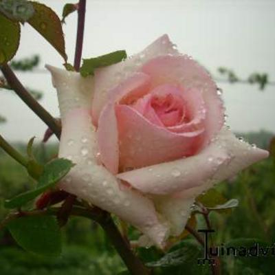 Rosa 'Penny Lane' -