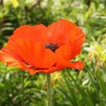 Papaver orientale - Oosterse papaver