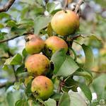 Malus sylvestris - Wilde appelboom - Malus sylvestris