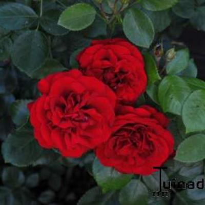 Rosa 'Amadeus' -