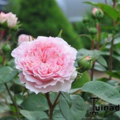 Rosa 'Mariatheresia' -