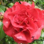 Camellia japonica - Camelia - Camellia japonica