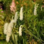 Sanguisorba - Pimpernel