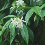 Toscaanse Jasmijn,Sterjasmijn - Trachelospermum jasminoides