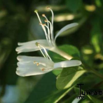 Lonicera japonica 'Halliana' - Japanse kamperfoelie - Lonicera japonica 'Halliana'