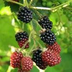 Rubus - Rubus - Braam