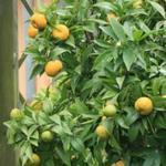 Citrus reticulata  - Citrus reticulata  - Mandarijnboompje
