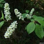 Prunus padus - Gewone vogelkers, Europese vogelkers - Prunus padus
