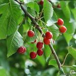 Prunus avium - Kerselaar, Kersenboom, Zoete kers - Prunus avium