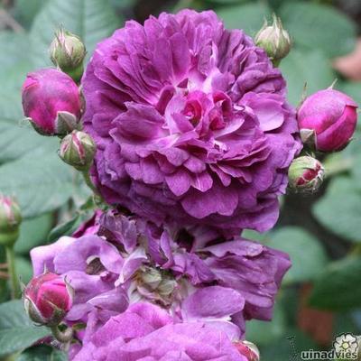 Rosa 'Cardinal de Richelieu'  -