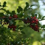 Ilex aquifolium - Ilex aquifolium - Hulst
