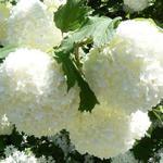Gelderse roos - Viburnum opulus 'Roseum'