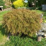 Acer palmatum - Japanse esdoorn - Acer palmatum
