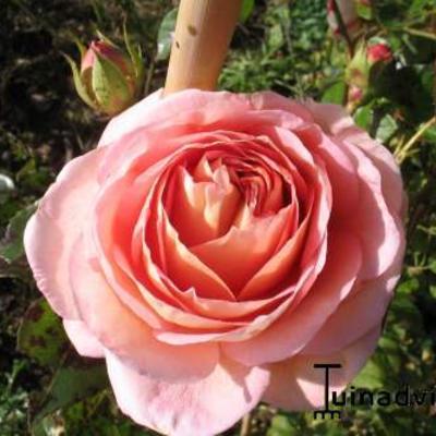 Rosa 'Abraham Darby' -