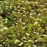 Leptinella -