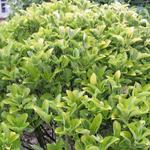 Euonymus japonicus - Japanse kardinaalshoed - Euonymus japonicus